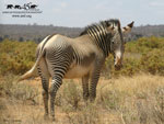 Grevy's Zebra wallpaper