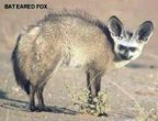rowland ward, sci, Bat eared Fox