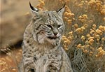 Photo: bobcat sitting on a rock