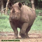 rowland ward, sci, Rhinoceros (black)