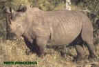 rowland ward, sci, Rhinoceros (white)