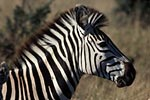 Photo: Zebra and foal