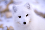 Photo: Arctic Fox