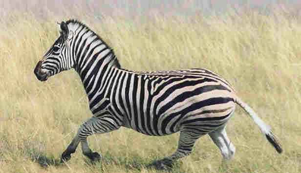 Burchells Zebra hunting in South Africa with South African Hunting Safaris.